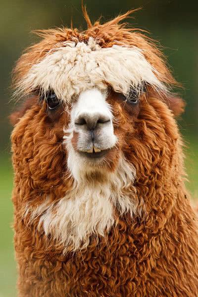 Alpaca Face alcapa face closeup - ...