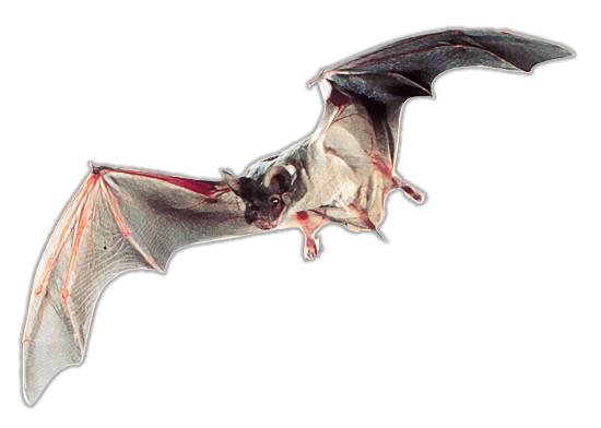 Mexican Free Tailed Bat Animals B Bat Named Bats 3