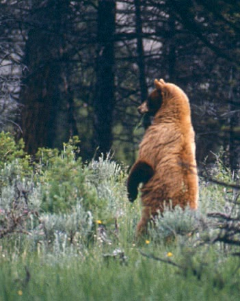 Cinnamon Colored Black Bear Standing Animals B Bears