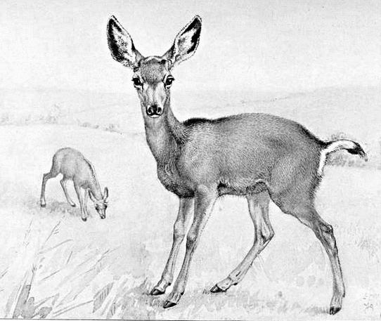 mule deer fawn sketch animalsddeeryoung_deermule_deer_fawn_sketchpnghtml