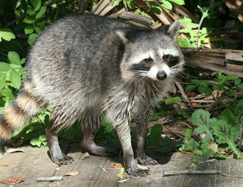 Raccoon Dog Latin Name
