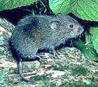 ANIMALS / V / VOLE - Public Domain clip art at WPClipart ...