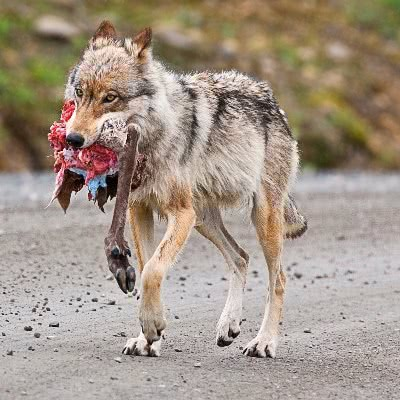 Wolf With Small Caribou Leg Animals W Wolf Wolf Photos