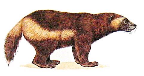 wolverine clipart animals w wolverine wolverine clipart jpg html rh wpclipart com wolverine clipart black and white wolverine clipart black and white