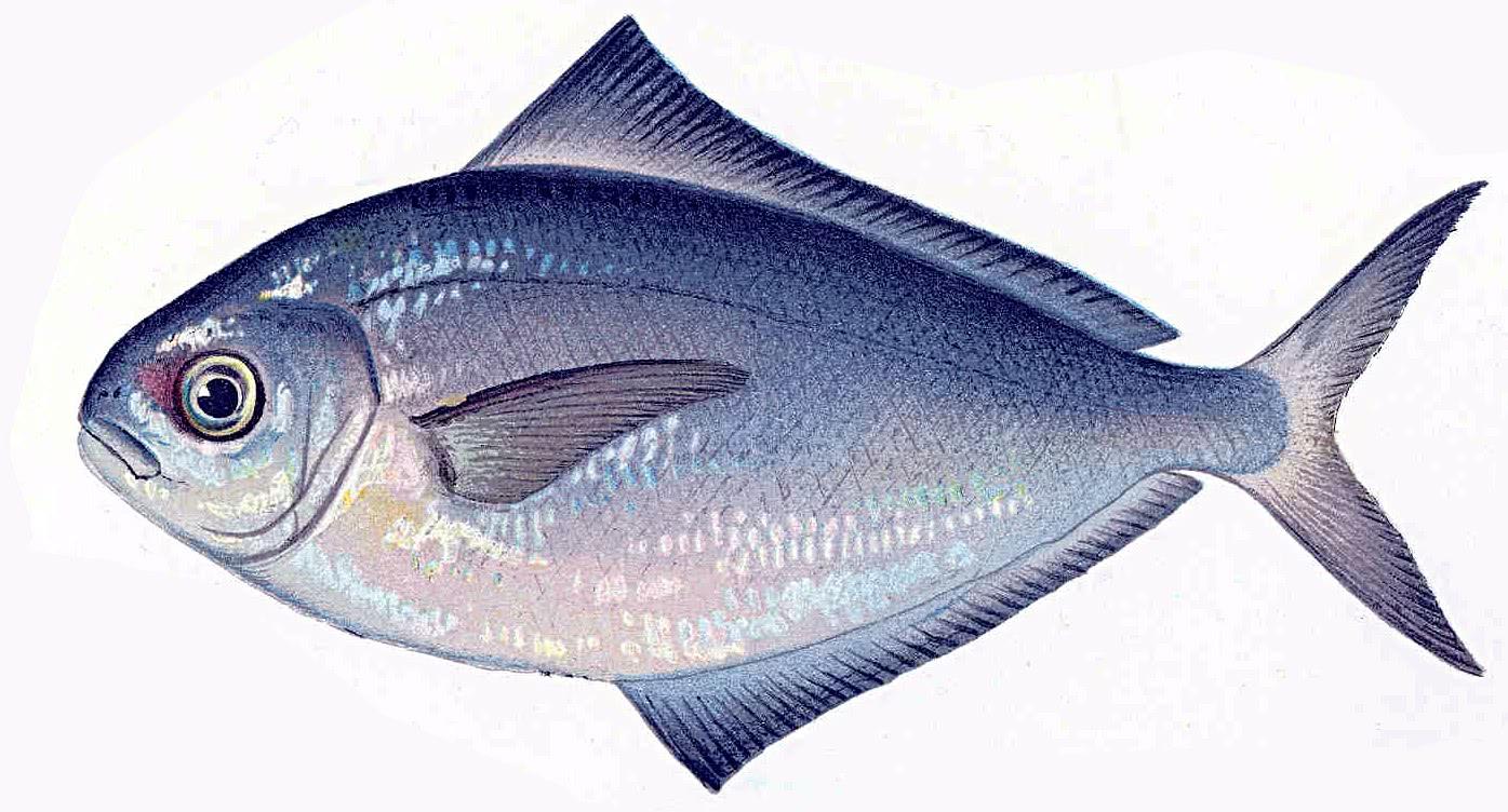 Butter fish poronotus triacanthus animals aquatic fish for Fish is fish