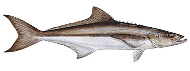 cobia   animals  aquatic  fish  c  cobia png html whale clip art free whale clipart black and white