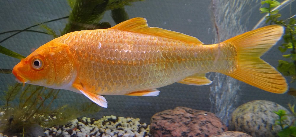 Koi carp cyprinus carpio animals aquatic fish c carp for Cyprinus carpio koi