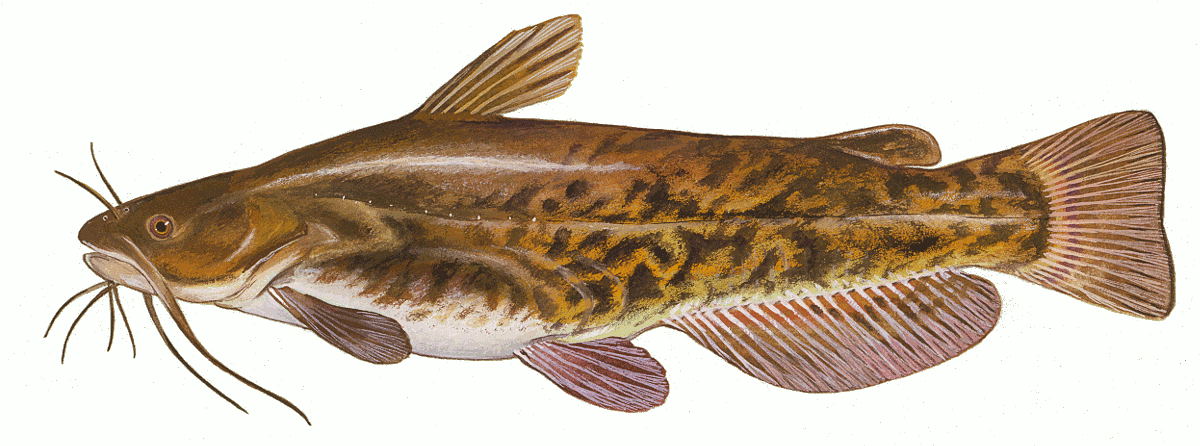 Illustrated artwork of a common Brown Bullhead isolated on a white background,