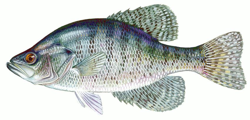 white crappie   animals  aquatic  fish  c  crappie  white clip art of fishers of men clip art of fishing lures