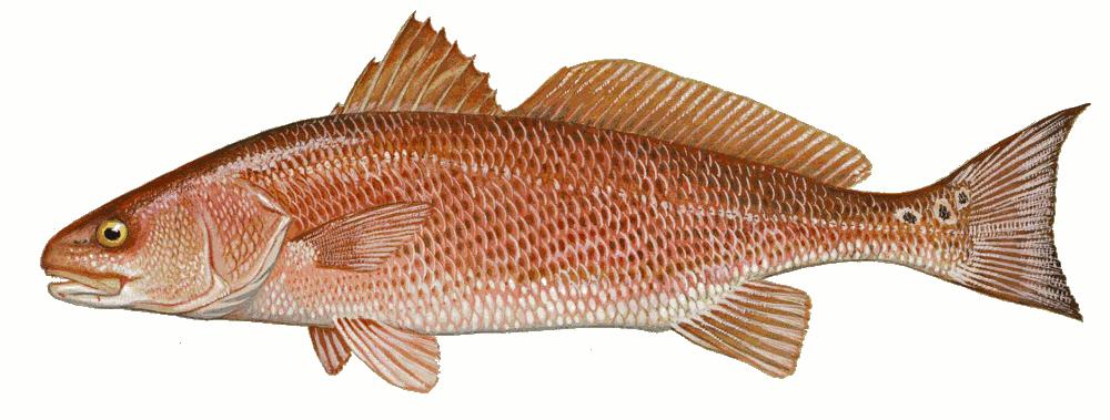 Red drum sciaenops ocellata animals aquatic fish d drum for Saltwater drum fish