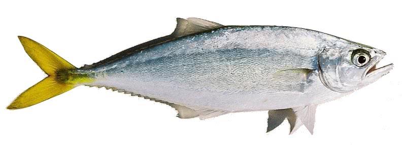 Leatherjacket fish oligoplites saurus animals aquatic for Leather jacket fish