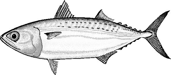 indian mackerel rastrelliger kanagurta   animals  aquatic clipart drawing program clipart drawing program