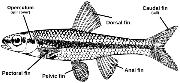 Fish Parts Diagram Animalsaquaticfishfishpartsdiagramgml