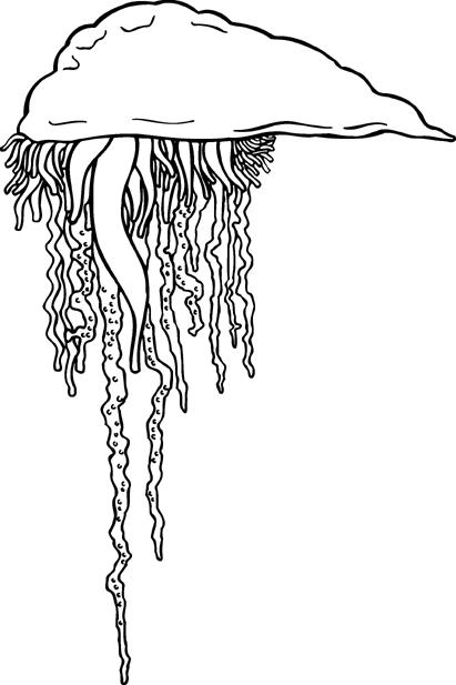 jellyfish bw   animals  aquatic  jellyfish  jellyfish bw png jellyfish clipart outline jellyfish clip art for kids