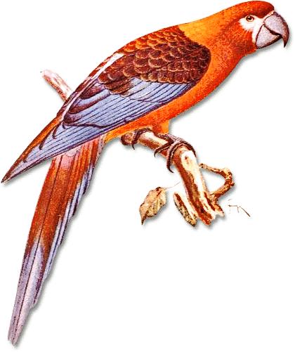 Ara Tricolor Animals Birds A Ara Tricolor Png Html