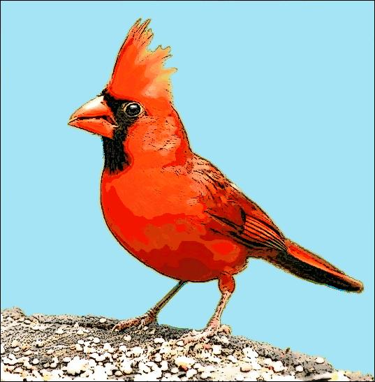 cardinal color animals birds c cardinal cardinal color png html