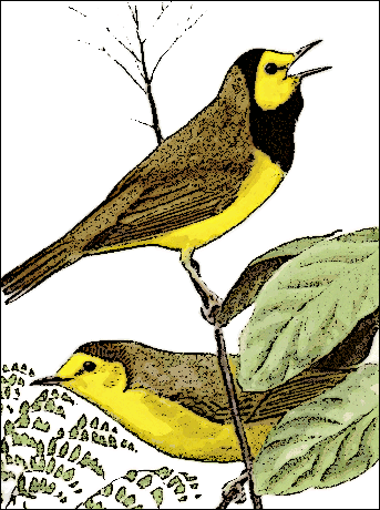Image result for hooded warbler clip[ art