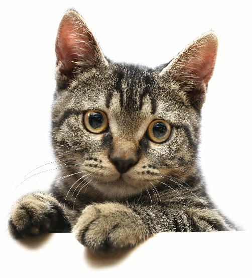 cat face striped tabby   animals cats cat photos cat face
