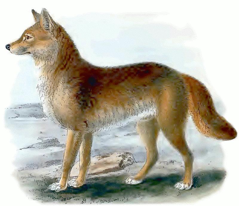 Dingo Vintage Animals Dogs Wild Dog Dingo Dingo Vintage