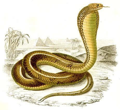 cobra image   animals  snake  cobra  cobra image jpg html clipart snake heads clipart snake eyes