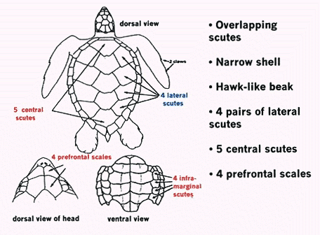 Hawksbill Sea Turtle Diagram Animalsturtleseaturtle