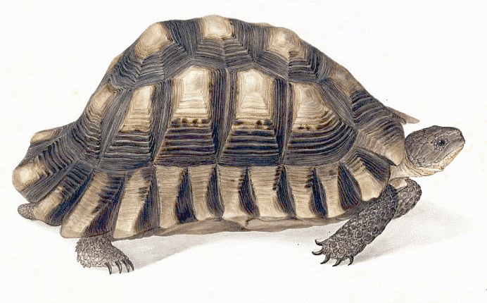 marginated tortoise testudo marginata   animals  turtle tortoise clipart mask tortoise clipart images