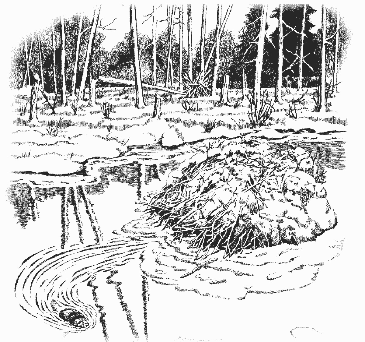 Coloring Pages Of Wetland Animals : Beaver dam coloring page animals b