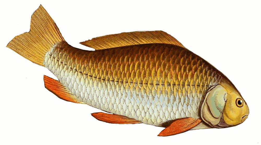 prussian carp carassius gibelio   animals  aquatic  fish  c clip art of fishing lures clip art of fishers of men