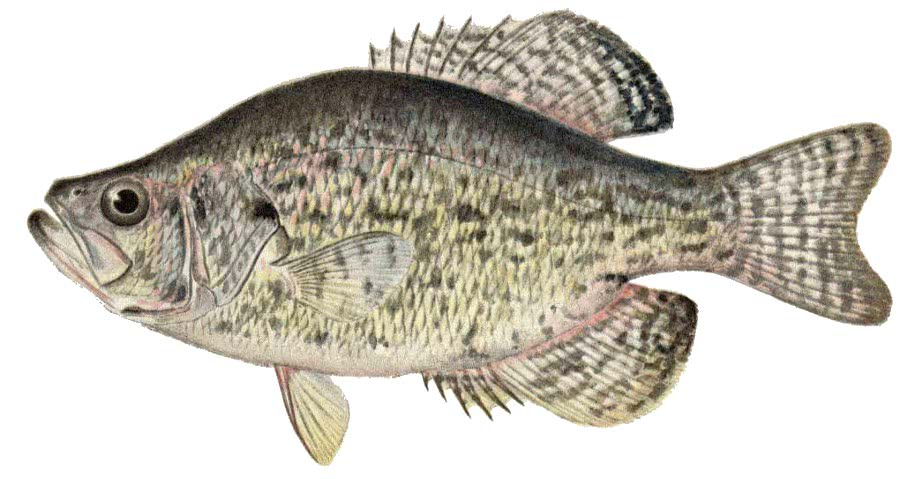 Crappie animals aquatic fish c crappie for Crappie fishing game