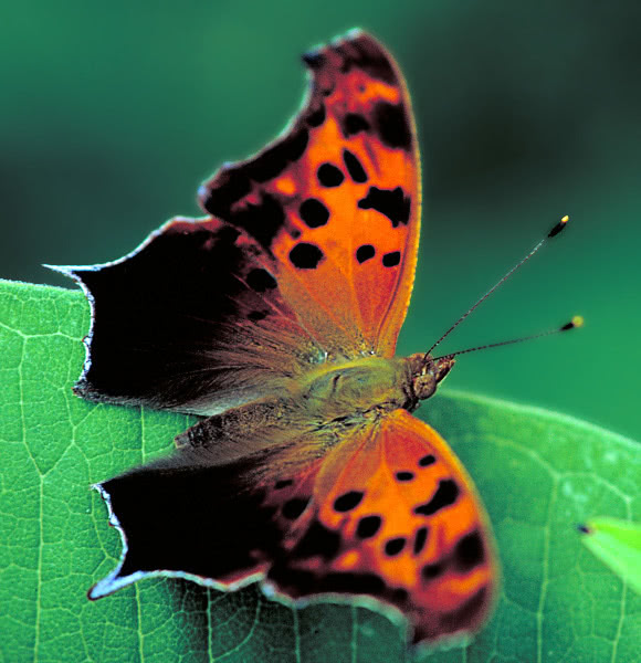 question mark butterfly  animals  bugs  butterfly
