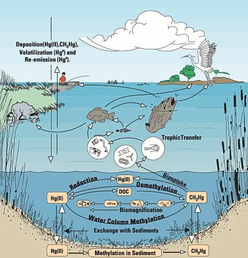 Everglades >> mercury cycle in Everglades - /geography/diagrams/mercury_cycle_in_Everglades.png.html