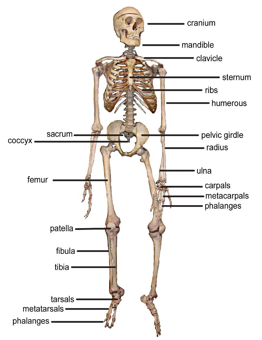 Skeleton Bones Front