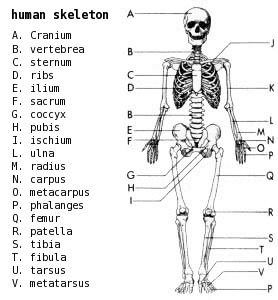 labeled diagram of atomic structure skeleton labeled medical anatomy bones skeletons skeleton labeled diagram of well