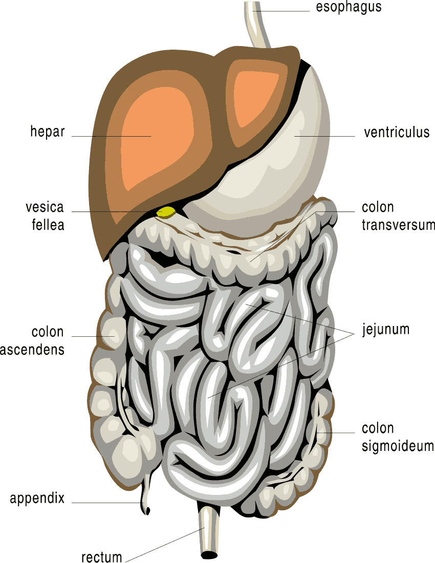 Wpclipartcom Medical Anatomy Mouthandthroat Mouthdiagrampnghtml