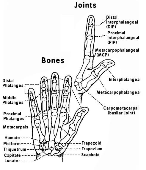 hand bones and joints medicalanatomyhandhandbones