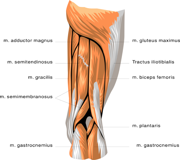 Muscle anatomy of the leg