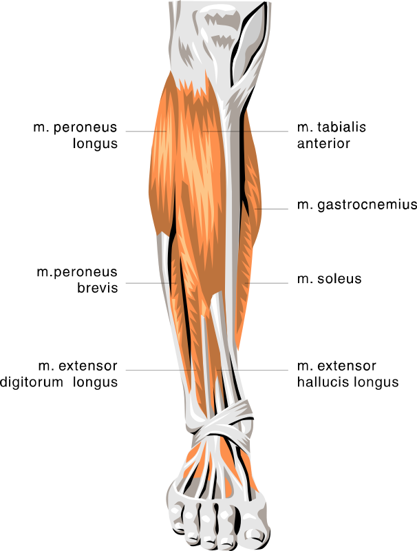 Anatomy Leg Muscles Gallery - human body anatomy