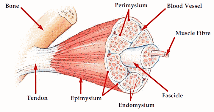 muscle       structure       diagram     medicalanatomy   muscle      muscle