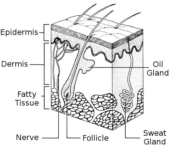 skin       diagram     medicalanatomy   skin      skin       diagram   pnghtml