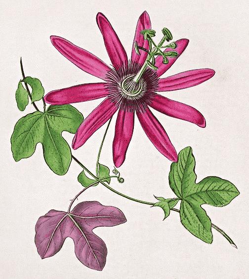 passiflora kermesina   plants  flowers   p  passion flower clip art planets clipart plants flowers