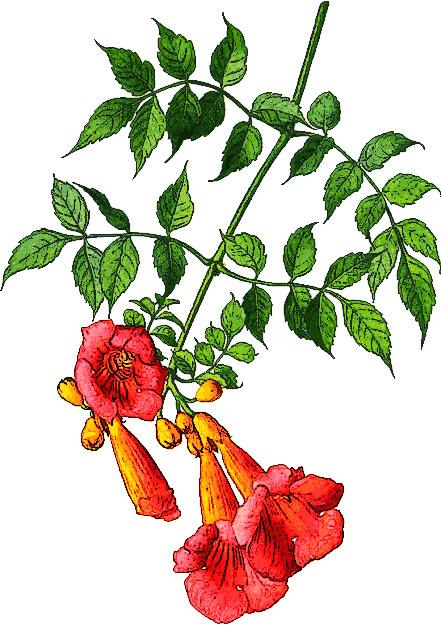 trumpet vine   plants  flowers   t  trumpet vine png html trumpet clip art free images trumpet clip art jpeg