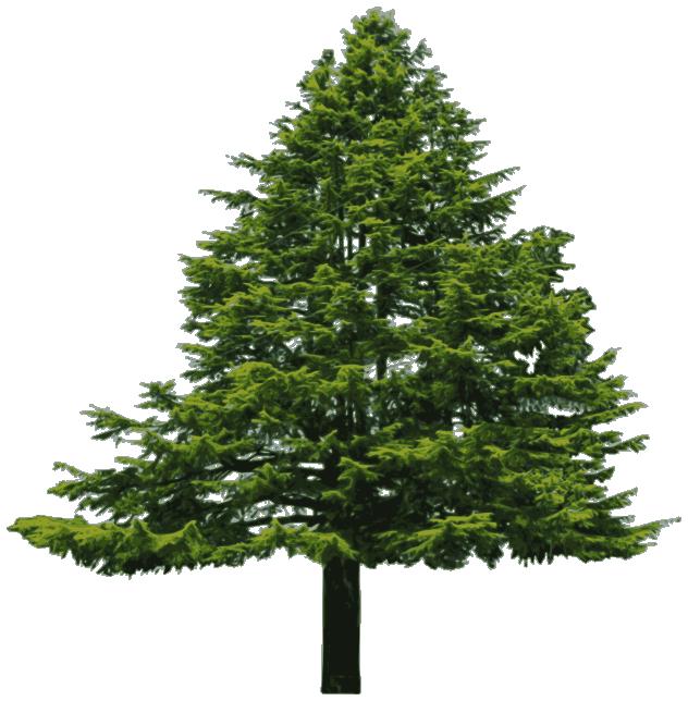 Douglass fir - /plants/trees/evergreen/Douglass_fir.png.html
