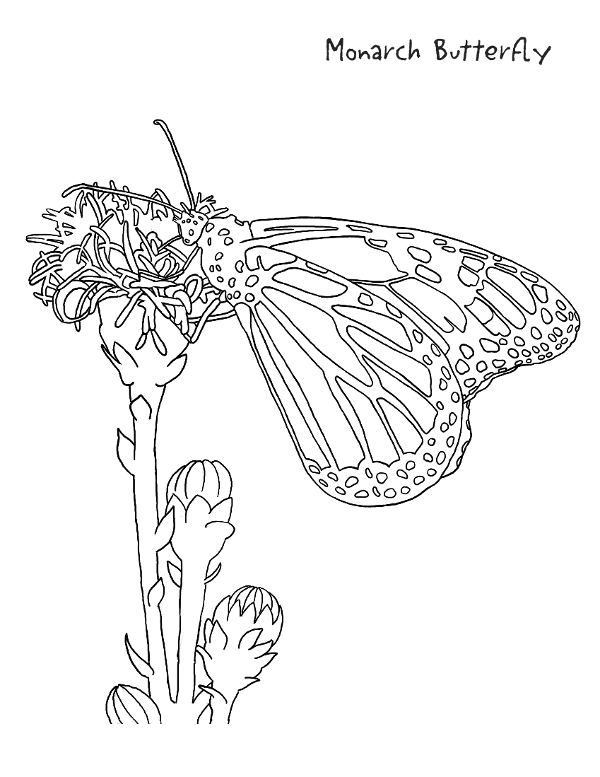 Colouring Pages For Adults Nz : Monarch coloring page education pages animals