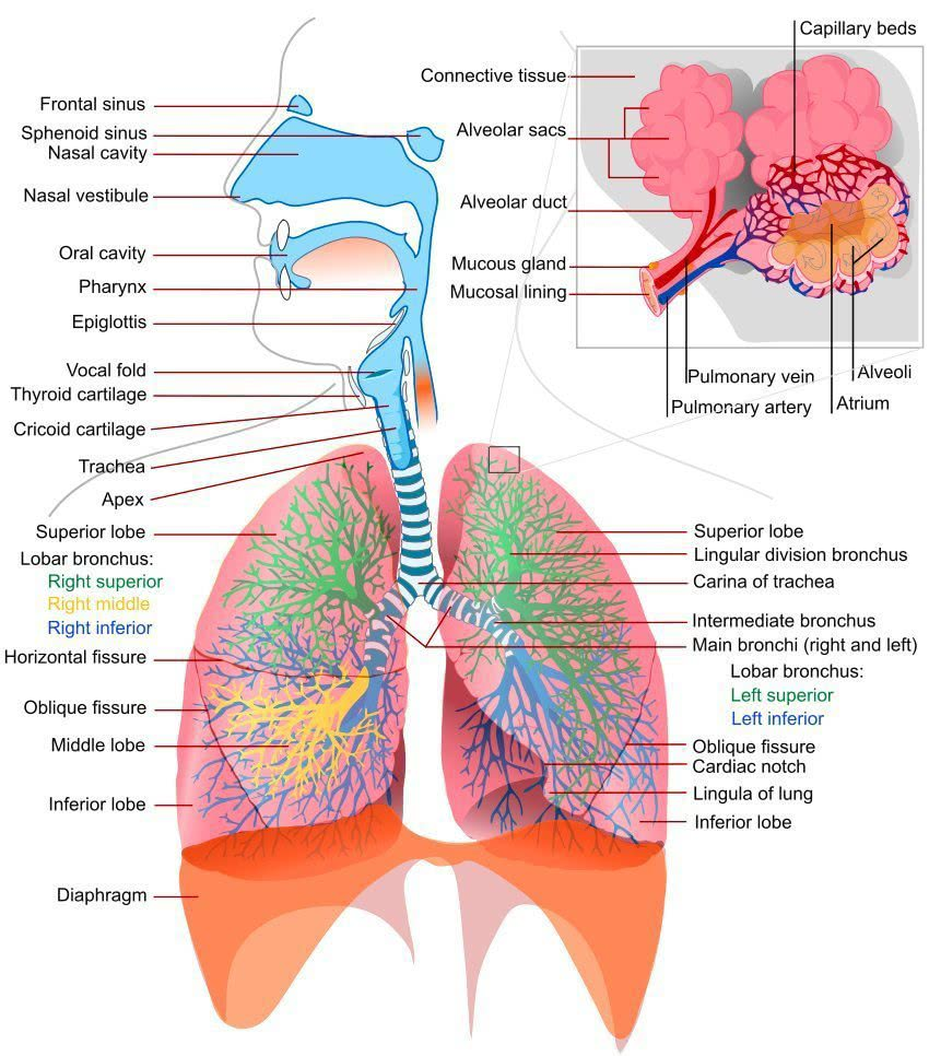 Respiratory system complete - /medical/anatomy ...