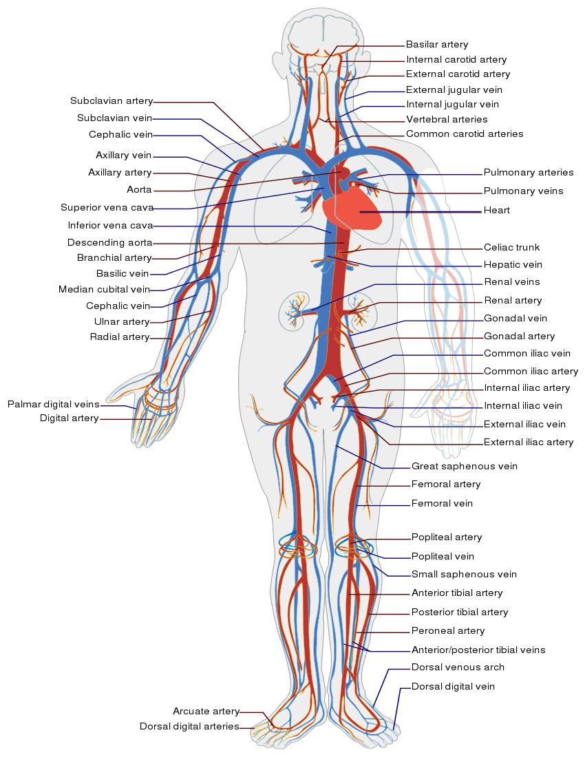 Circulatory System - /medical/anatomy/blood/Circulatory_System.png.html
