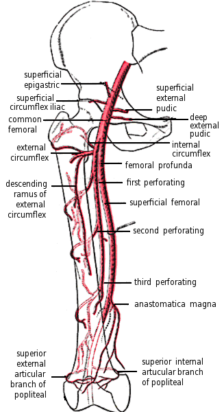 femoral artery and branches in leg - /medical/anatomy/blood ...