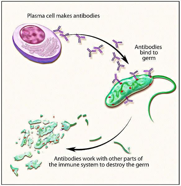normal plasma blood cells - /medical/anatomy/blood ...