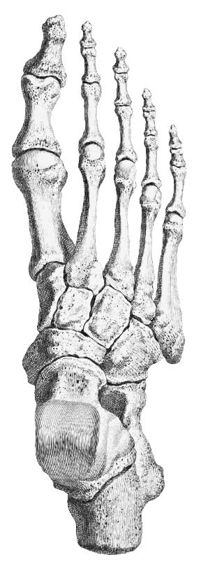 Foot Bones Medicalanatomybonesfootbonesgml