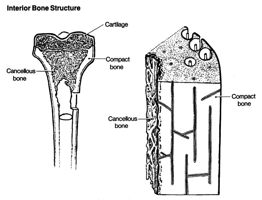 interior bone structure - /medical/anatomy/bones ...