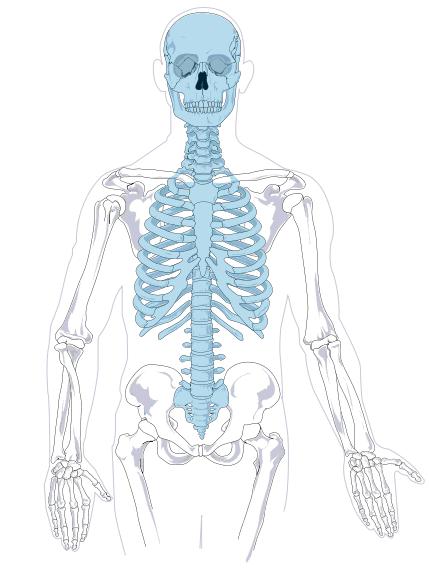 Axial Skeleton Diagram No Labels Medicalanatomybonesskeletons